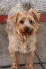 Mac (Yorkshire Terrier)
