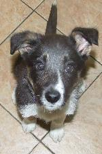 Jess (Collie tri colou...