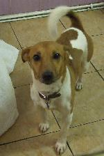 Rusty (Jack Russell)