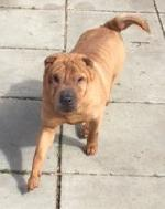 Click here to find out more about Rudi xx (Shar Pei)