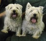Mack and Robbie (Westies)