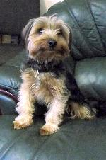 Bobbi (Yorkshire Terrier)