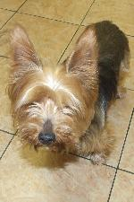 Chico (Yorkshire Terrier)