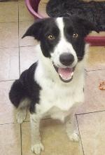 Ozzy (Border Collie)
