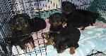 Puppies ( six of the w...