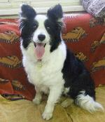 Daisy (Border Collie)