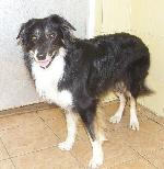 Troy (Border Collie)