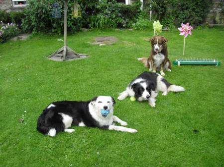 Three rescue Collie's